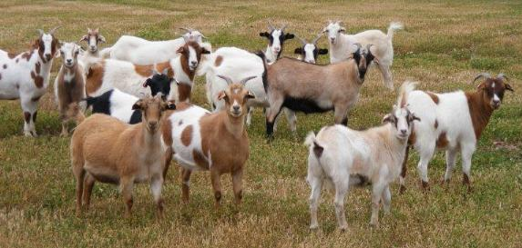 goat industry in bataan problems and Goat production: an over view of the canadian goat industry nada k nadarajah, dept of animal & poultry science, univ of guelph background for discussion in dairy goat, it is not much of a problem.