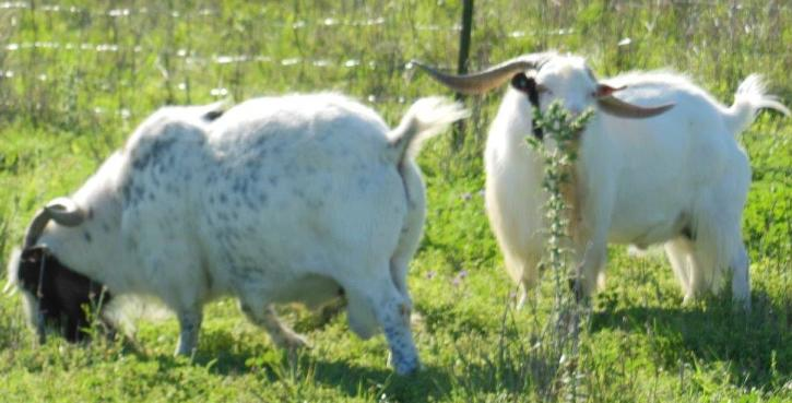 Onion Creek Ranch - Tennessee Meat Goats - TexMaster Meat Goats